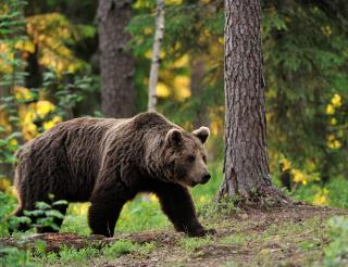Brown Bear Conservation Project