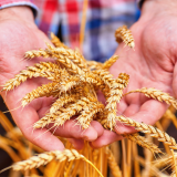 EU Participates in the Mardin Sorgül Wheat Harvesting Festival