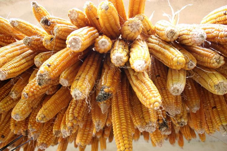 A bunch of corns