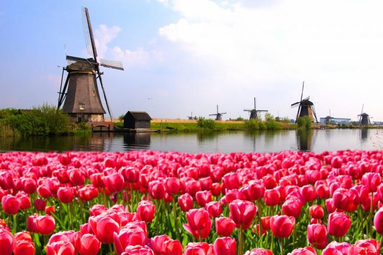 Field of tulips in Netherlands